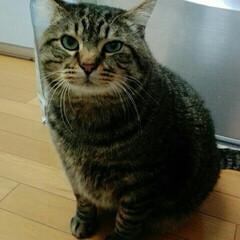キジトラ/おねだり/猫/にゃんこ同好会 冷蔵庫の前でおねだり。 ダメだよ、大ちゃ…