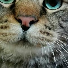 きじとら/猫/にゃんこ同好会 どあっぷ大吉🎵