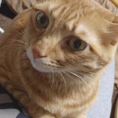 茶トラ/ペット/猫/にゃんこ同好会 膝の上に乗り「僕可愛いでしょ」アピール😽…