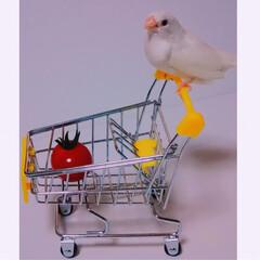 ペット/小鳥/DAISO/ショッピング/お買い物/十姉妹 十姉妹のまめちゃんの楽しいお買い物♫