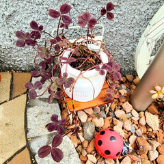 多肉植物/マイガーデン/手作り花壇/手作りの庭/季節を楽しむ/100均/... 玄関前ガーデニングのイベント参加します❤…(8枚目)