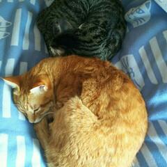 まる&そら/クロ-ゼットでお昼寝/アンモニャイト/猫/にゃんこ同好会 二匹仲良くお昼寝~👏💕😼😺
