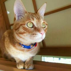 茶トラ/まる/猫/にゃんこ同好会 いつぞや首輪を買ってみたけど、結局続かな…