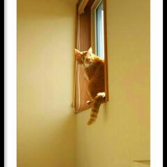 きじとら白/茶トラ/まるそら/階段上の窓/窓辺/春/... そんなところにも行ってたなんて最近知った…