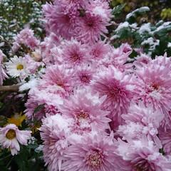 「雪がふりました😊 お隣さんの菊の花も雪が…」(2枚目)