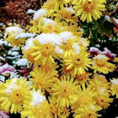 「雪がふりました😊 お隣さんの菊の花も雪が…」(1枚目)
