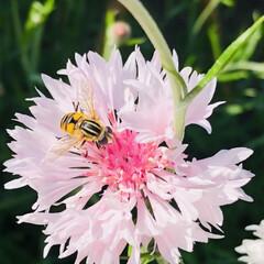 花のある暮らし/ジューンベリー/矢車草 今朝も庭の水やり気持ちいい☀️.° そろ…