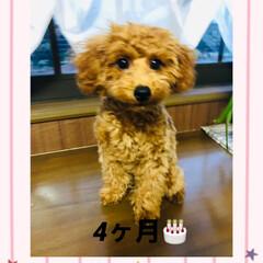 犬の成長/しつけ教室/トイプードル 4ヶ月になりました🐩🐾 体重2.4kg …
