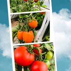 夏野菜/何して食べよ/大収穫/家庭菜園/ハウスの🍅🍅🍅 ハウスのトマト達🍅🍅🍅 今年は中玉トマト…
