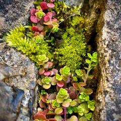 苔と多肉植物/植物観察日記/佐保川散策 佐保川散策・苔と多肉植物  寄せ植えでも…
