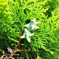 ヒバ/LIMIAおでかけ部/おでかけ/風景 檜葉の実(ヒバ)別名「あすなろ」  白っ…