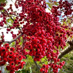 ピラカンサ/植物観察日記 ピラカンサ  空から降る様なピラカンサっ…