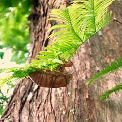 蝉の抜け殻/LIMIAおでかけ部/おでかけ/風景/おでかけワンショット/メタセコイア メタセコイアと蝉の抜け殻  暑い日が続き…