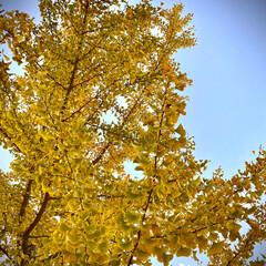 イチョウ/銀杏/植物観察日記 イチョウ【銀杏】  すっかり黄金色に紅葉…
