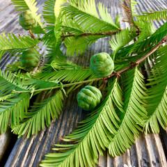 メタセコイアの新芽/メタセコイア/令和の一枚/LIMIAおでかけ部/おでかけ/風景 メタセコイアの新芽  可愛らしい新芽が …