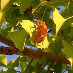 蝉の抜け殻/イチョウ/令和の一枚/LIMIAおでかけ部/おでかけ/風景/... イチョウの葉と蝉の抜け殻  茹だるような…