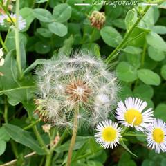 たんぽぽの綿毛/おでかけ/風景 遅咲きのたんぽぽ  四つ葉のクローバーを…