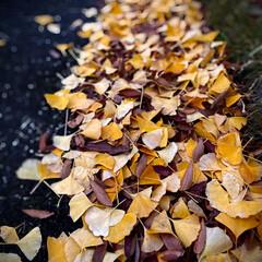 植物観察日記/銀杏と白樫/落ち葉の絨毯 銀杏と白樫の葉  アスファルトに落ちた銀…