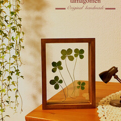 天然素材/四つ葉のクローバー/至福のひととき/雑貨/ハンドメイド/LIMIAおでかけ部/... 四つ葉のクローバーです。🍀  押し花にし…