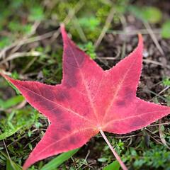 落ち葉/モミジバフウ/紅葉葉風/植物観察日記 モミジバフウ【紅葉葉風】  紅葉した紅葉…