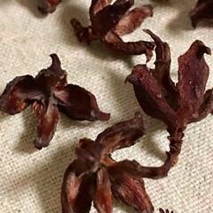 天然素材/ヒバの花/ヒバ ヒバの花  直径1cm程のヒバの花を煮沸…