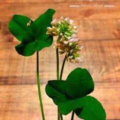 シロツメクサ/おでかけ 🍀白詰草🍀  四つ葉のクローバーとお花を…