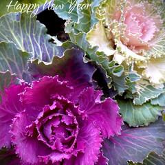 自宅の小さな庭花/葉牡丹/令和2年・元旦/HAPPY NEW YEAR/お正月2020 ハボタン(葉牡丹)  謹賀新年   明け…