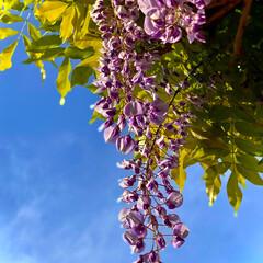 藤/藤の花/フジの花/植物観察日記 フジ【藤 】  おはようございます良いお…