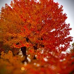 自然観察日記/植物観察日記/紅葉 紅葉  紅く萌えるような紅葉です ( ¨…