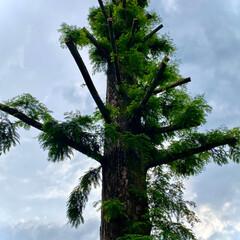 曙杉/メタセコイア/植物観察日記 メタセコイア【曙杉】  立派な枝振りだっ…