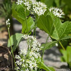 韮の花と実/ニラ/韮/植物観察日記 ニラ【韮】  花と実が交互に付いています…