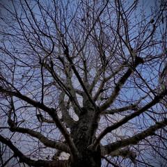 公園/植物観察日記/自然観察日記/モミジバフウ/おでかけ モミジバフウ(紅葉葉風)  葉が落ちて実…