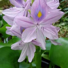 ご近所さんの花/ホテイアオイ/ウォーターヒヤシンス/浮遊植物 ホテイアオイ💜.:*:・   朝からご近…(1枚目)