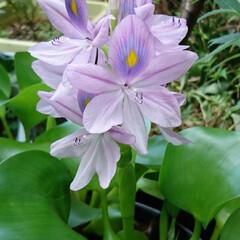 ご近所さんの花/ホテイアオイ/ウォーターヒヤシンス/浮遊植物 ホテイアオイ💜.:*:・   朝からご近…(2枚目)
