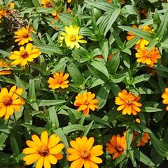 フラワーロード/買い物帰り/ジニア ジニア💖💛.:*:・   いくつ咲いてい…(3枚目)