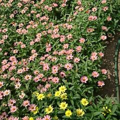 フラワーロード/買い物帰り/ジニア ジニア💖💛.:*:・   いくつ咲いてい…(4枚目)