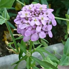 遊歩道の花/ピンクのお花 💞💞💞💞💞?.:*:・    小さな花が…(2枚目)