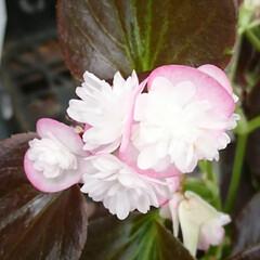 ガーデニング/ベゴニア/八重花 ベゴニア❤️.:*:・   八重花が可愛…(1枚目)