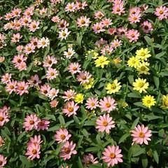 フラワーロード/買い物帰り/ジニア ジニア💖💛.:*:・   いくつ咲いてい…(1枚目)