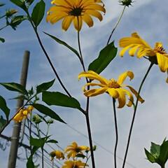 キクイモの花?/遊歩道の花 キクイモの花かな~❓😳   (4枚目)