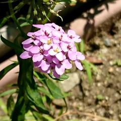 遊歩道の花/ピンクのお花 💞💞💞💞💞?.:*:・    小さな花が…(1枚目)