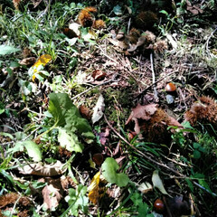 自然/栗拾い/山/おでかけ/秋 栗が落ちていたので、みんなで栗拾い。 小…