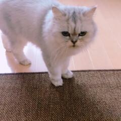 猫 サマーカットから3カ月経って毛が伸びまし…