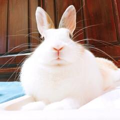 ウサギ/うさぎ/ミニウサギ/くぅちゃん/うちの子ベストショット くぅちゃん🐰♥️ モフモフのマフが自慢で…