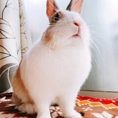 うさぎ/ミニウサギ/ウサギ/うちの子ベストショット くぅちゃん🐰♥️  今日何して遊ぶ〜??…