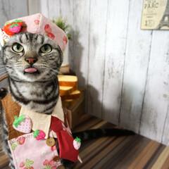 猫/バレンタイン/舌ペロ/猫コス/苺/ペット うちの可愛いパティシエです(*´艸`)