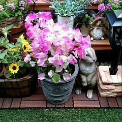 ガーデニング こんにちは✨😃❗ ブーゲンビリアの花が咲…