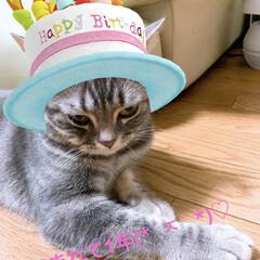 猫派/うちの子ベストショット お誕生日🎂 もちろんプレゼントはちゅーる…