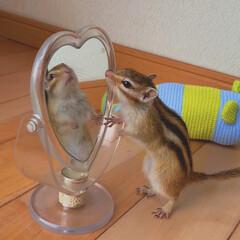 おうち/りす/シマリス/LIMIAペット同好会/ペット/ペット仲間募集/... 鏡よ鏡よ鏡さん  世界で一番美しいのはだ…