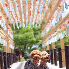 風鈴/浴衣/兄弟/犬/わんこ同好会/夏模様 今年初浴衣で風鈴祭りへ🎐 * 暑さも楽し…